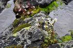 Drooping Saxifrage (Saxifraga cernua)